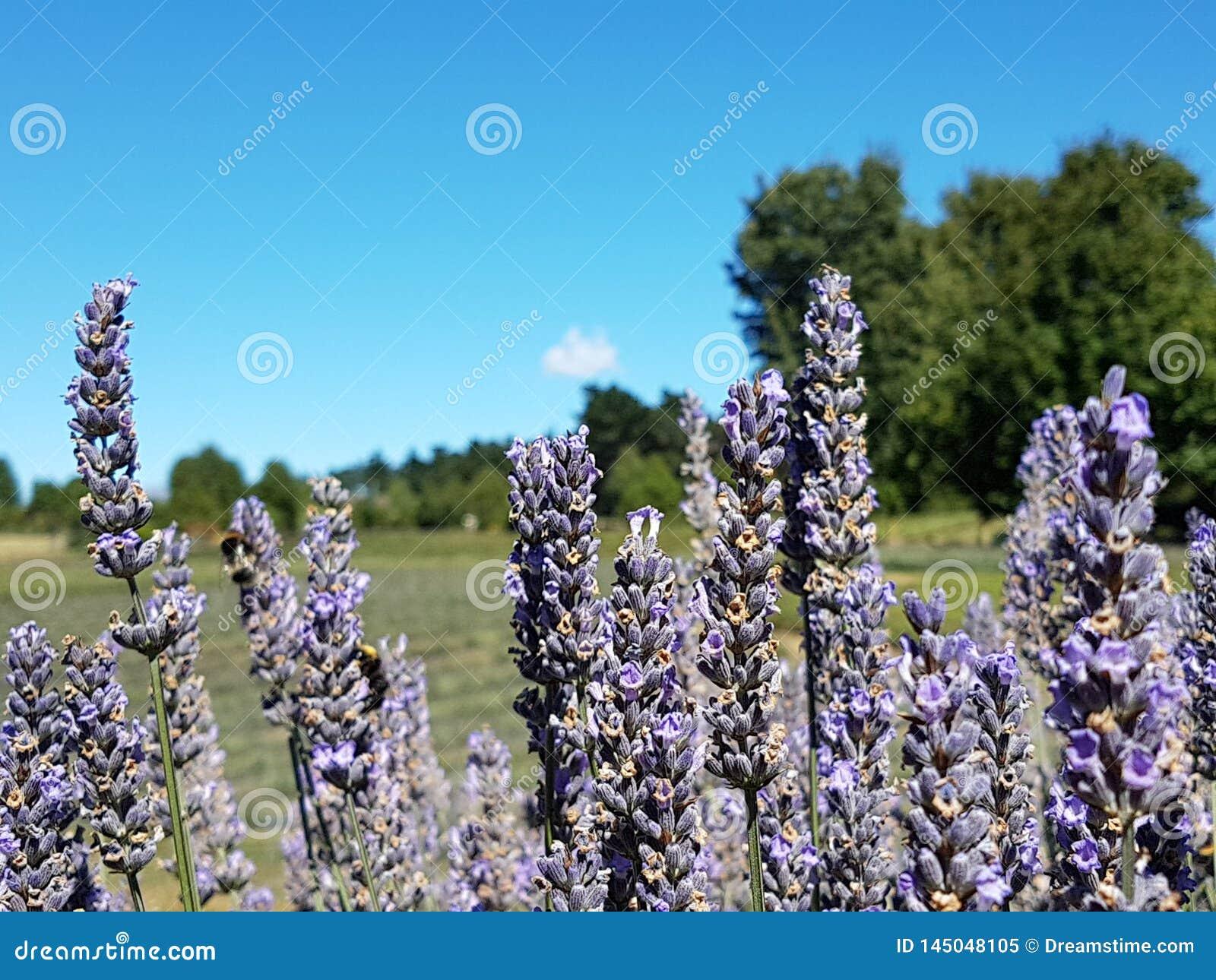 Closen blommar upp lavendel