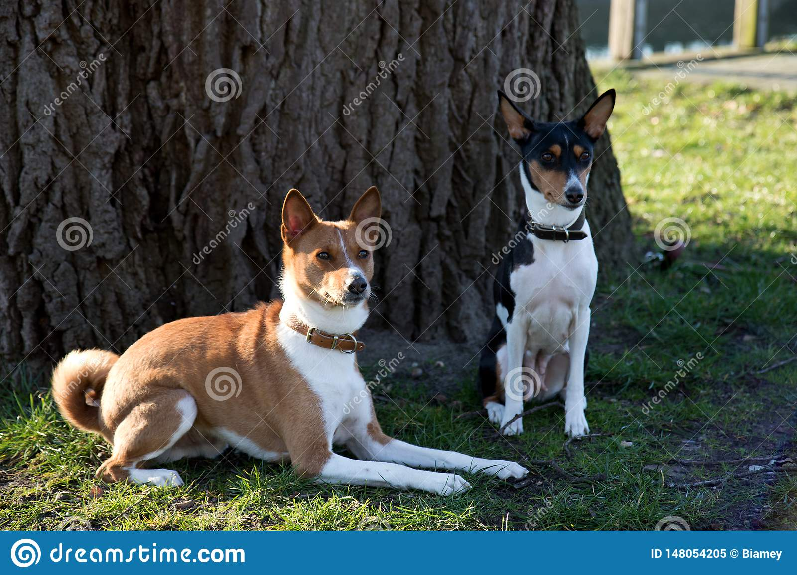 Closer front and side view of a two tone and tri color basenji sitting and lying on a grass area in meppen emsland germany