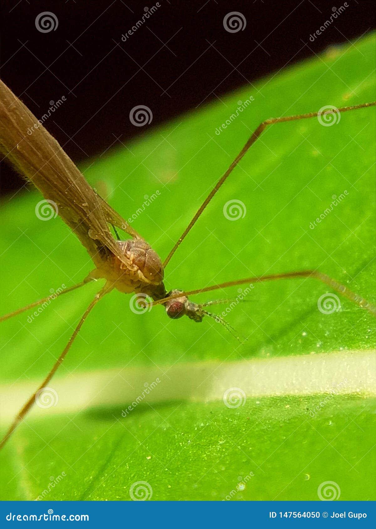 Closer look on a long legged bug