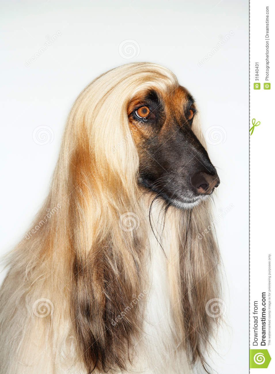 Closeup Of Afghan Hound Stock Image - Image: 31840431