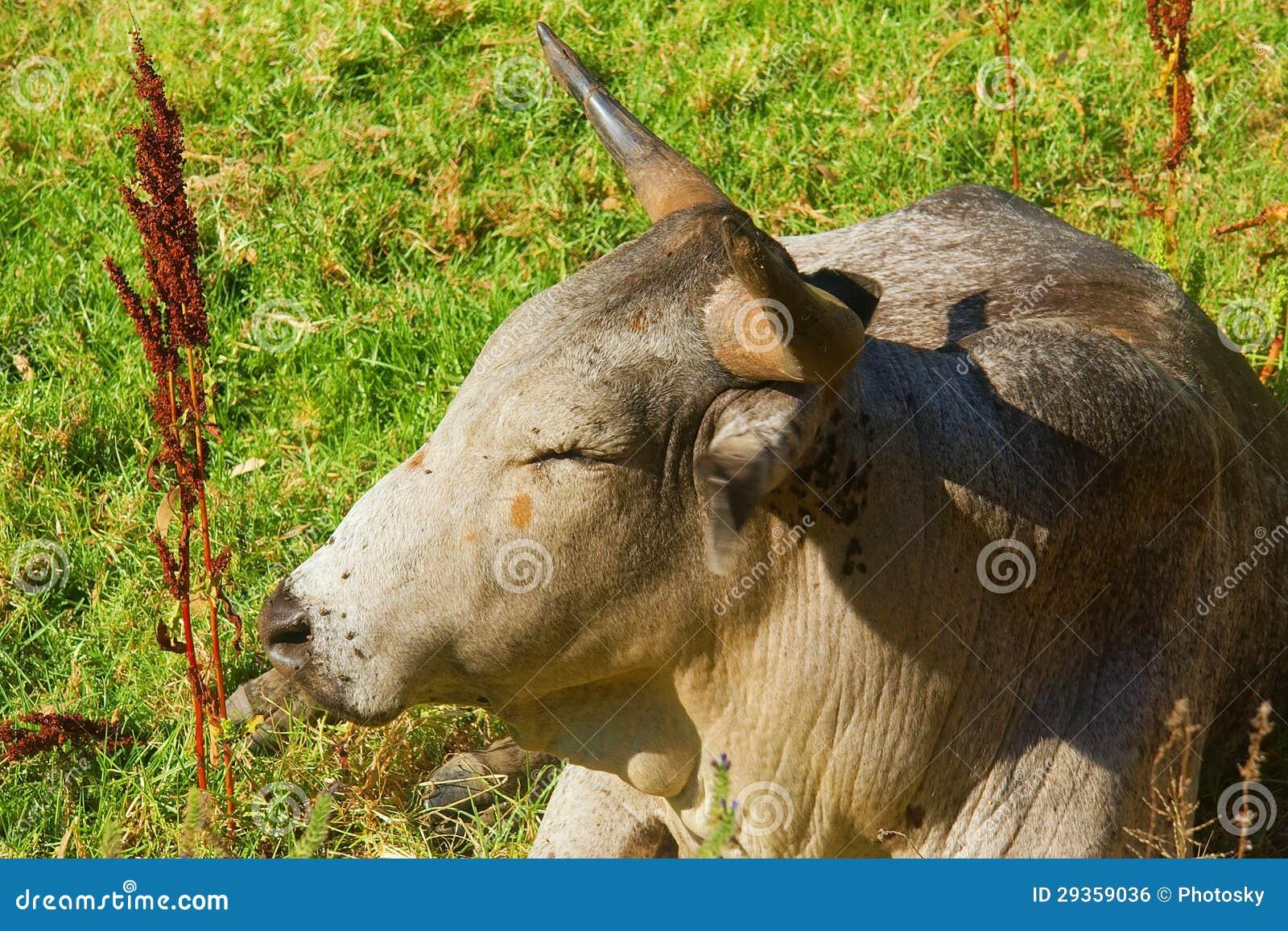 Closeup of African Nguni bull