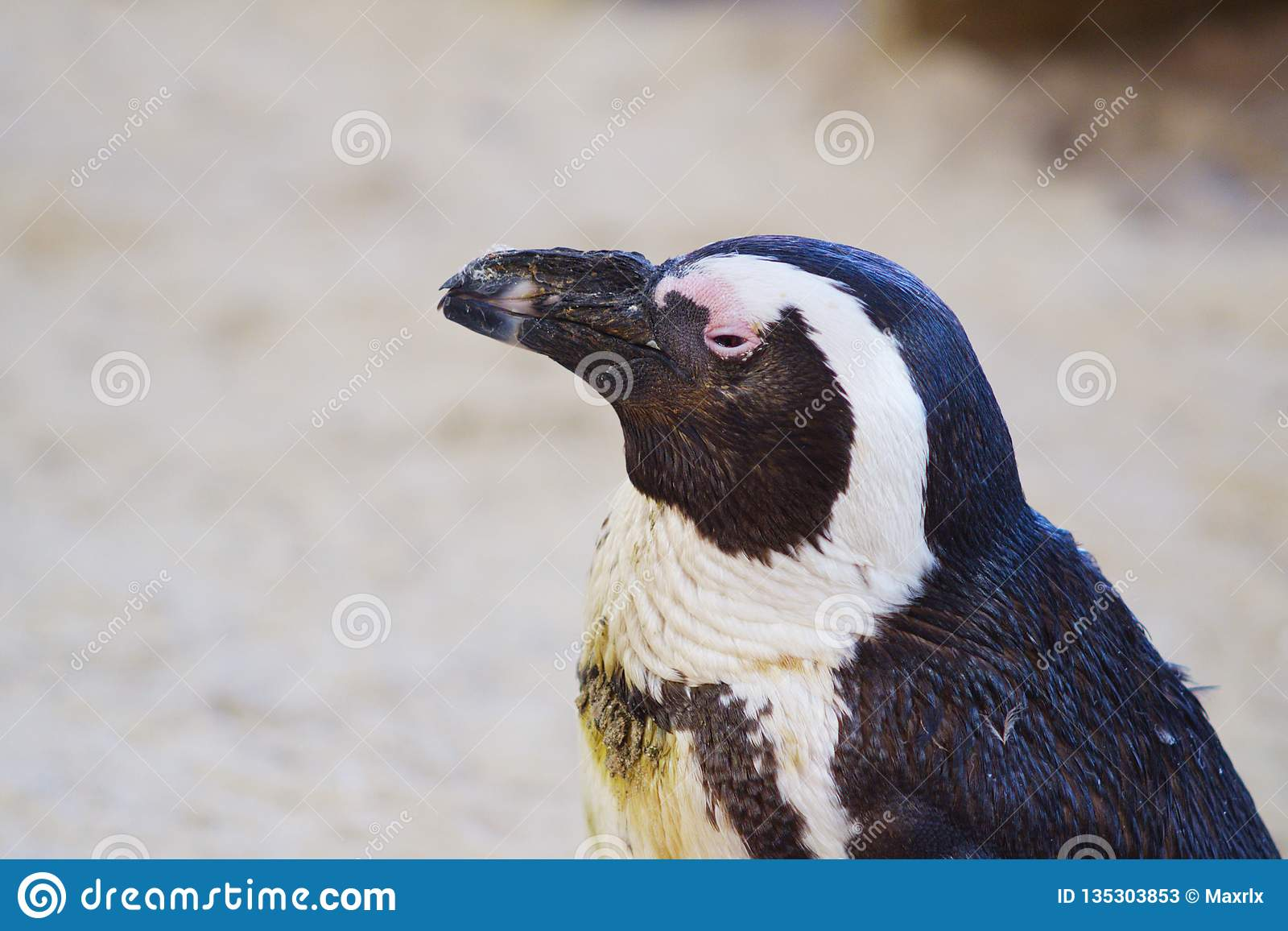 Closeup of African Penguin with semi closed eyes against blurred background