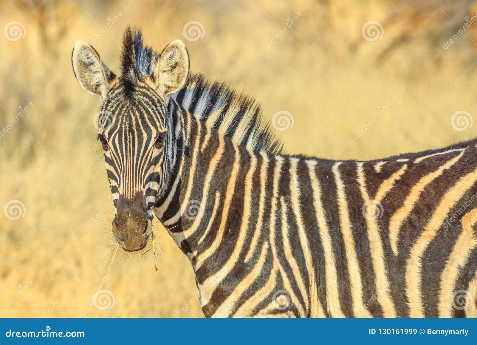 Zebra in Kalahari Desert