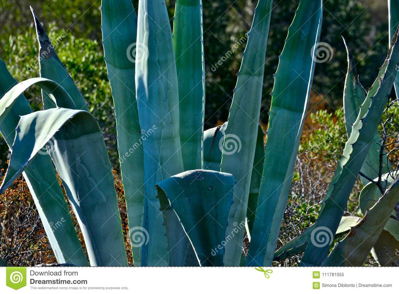 Closeup of agave plants as a background