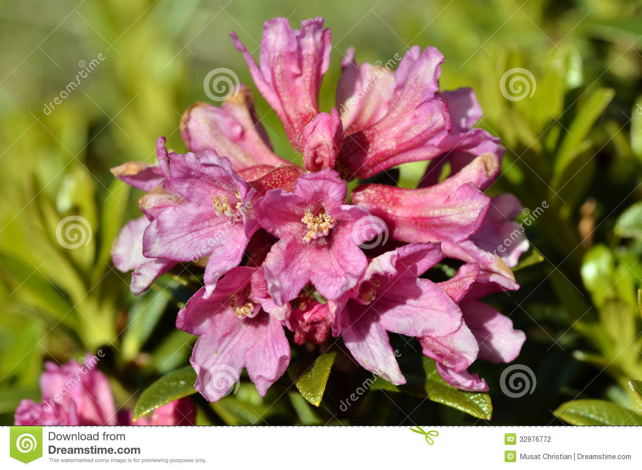 Closeup Alpenrose Flower In The French Alps Stock graphy Image
