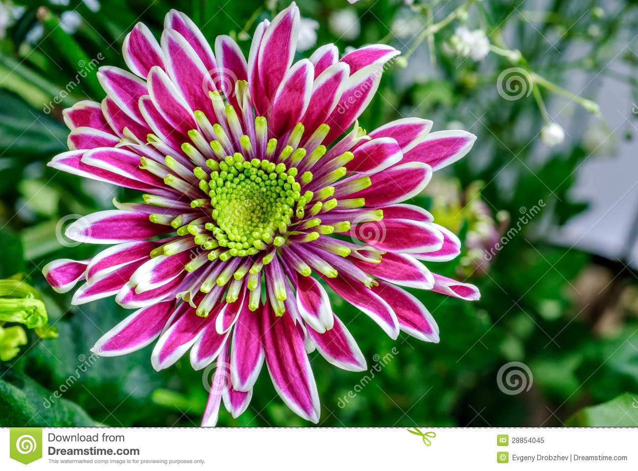 closeup aster flower royalty free stock photo  image, Natural flower