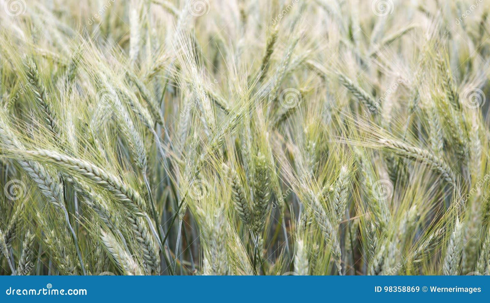 Closeup av cornfielden i vinden
