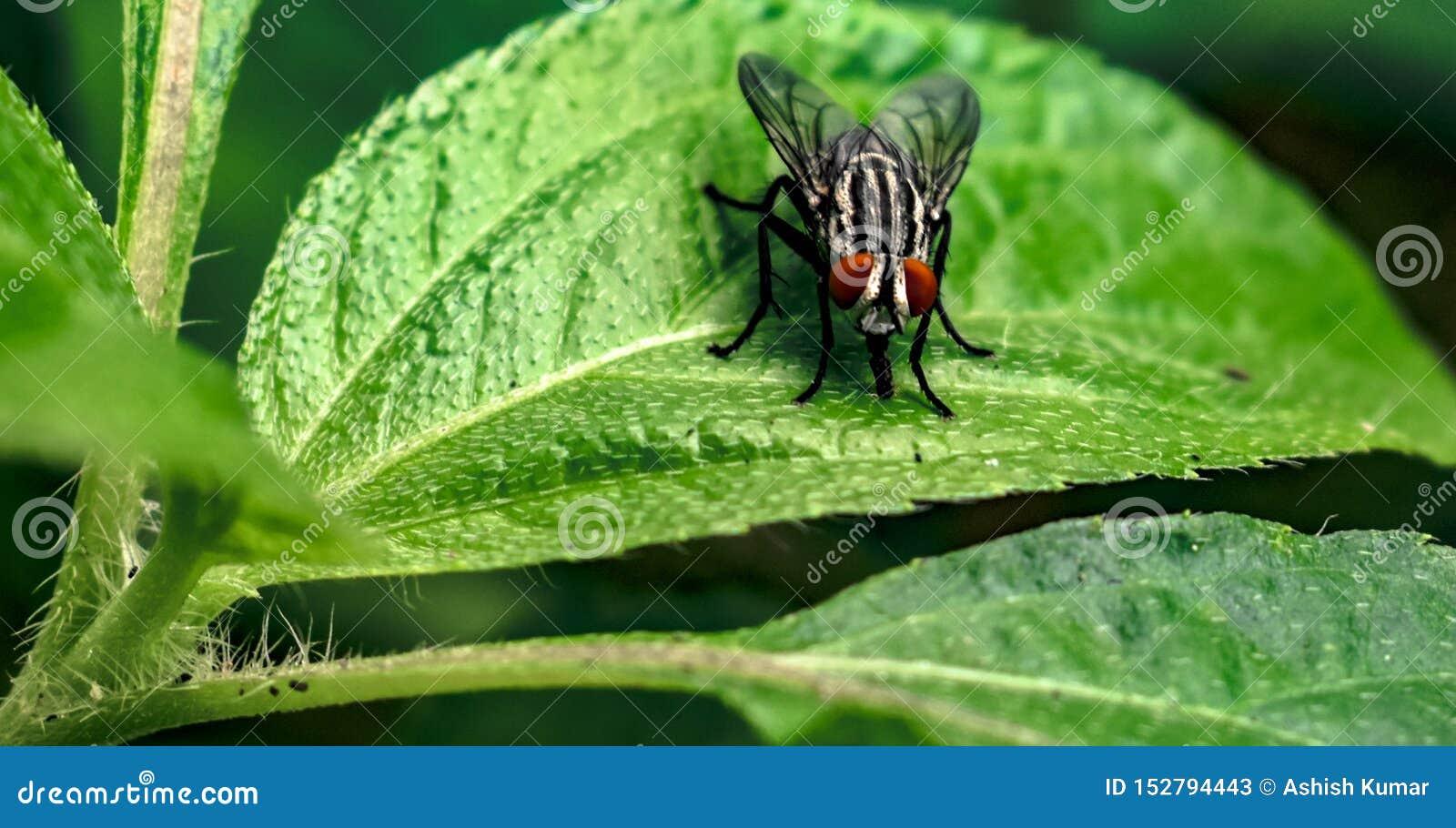 Closeup av den gemensamma flugan, vetenskapligt som är bekant som muscaen Domestica som sitter på det nya gröna bladet av stor te