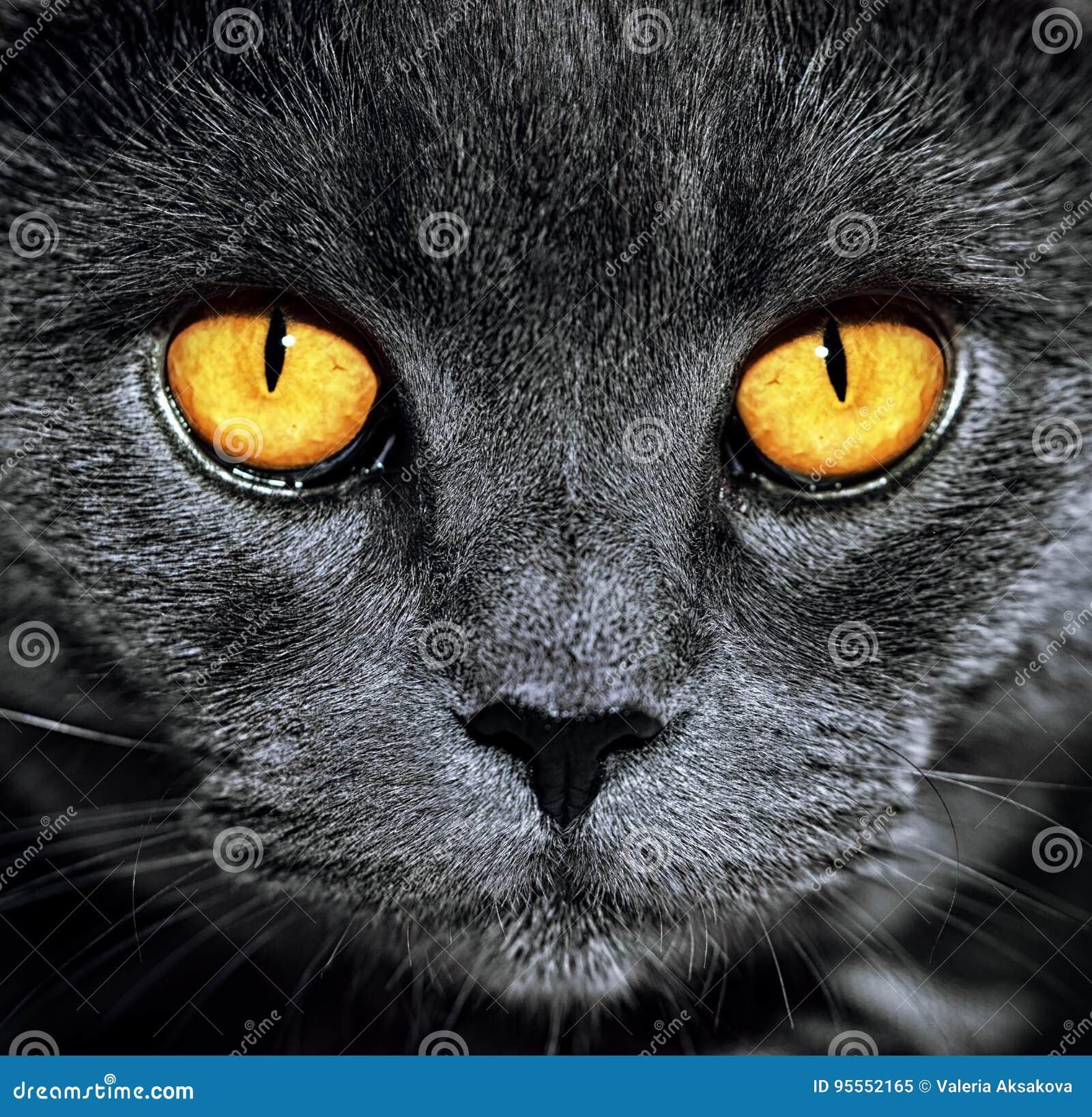Closeup av den härliga lyxiga ursnygga gråa brittiska katten med vibra