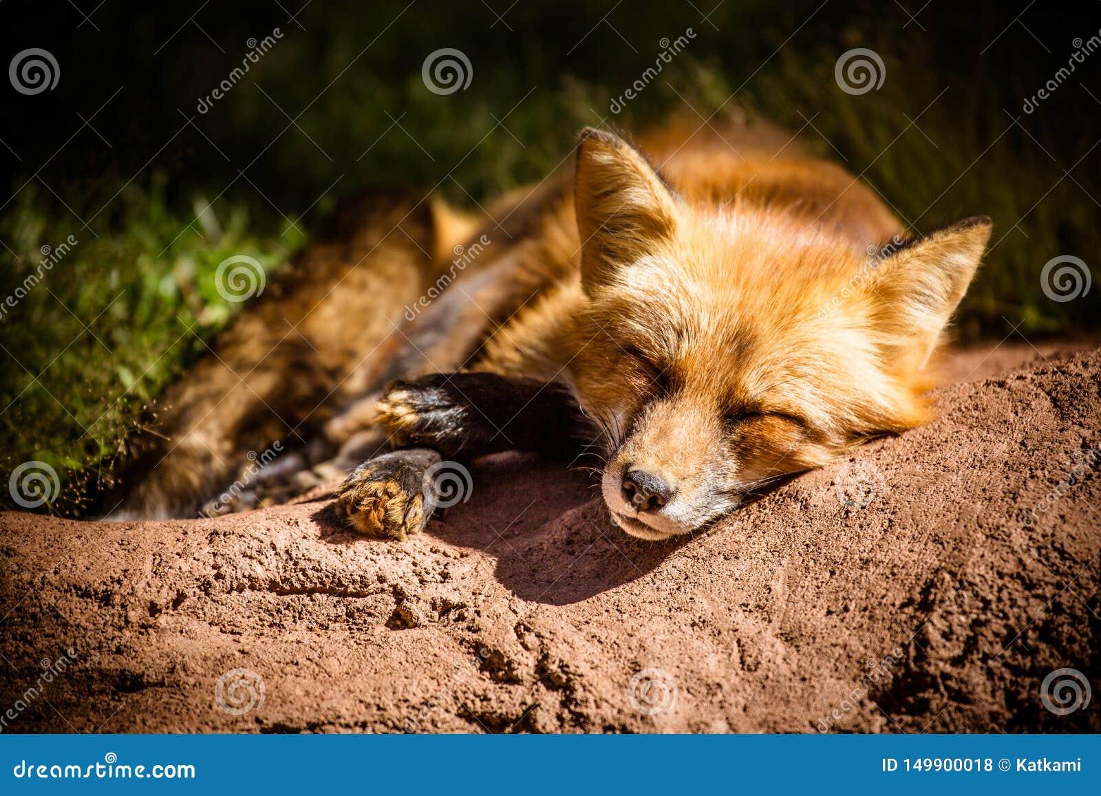 Closeup av den sömniga röda räven på jordning