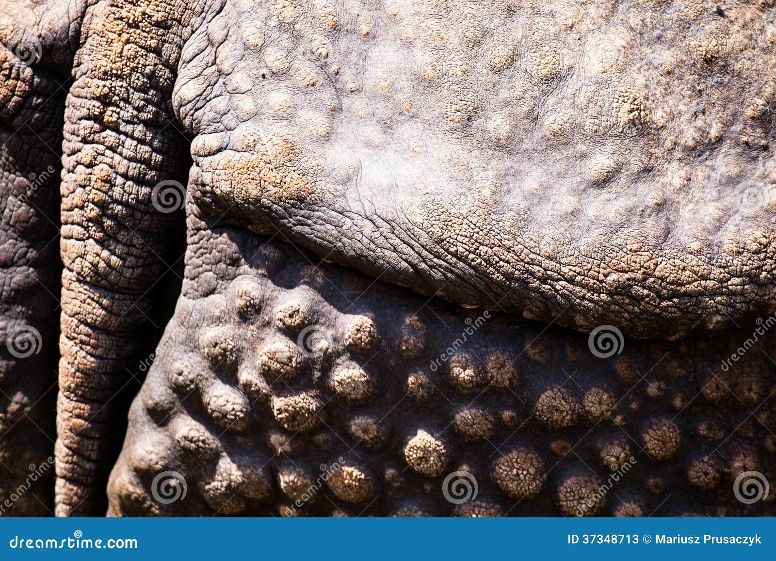 Closeup av den starka harnesken av en noshörning