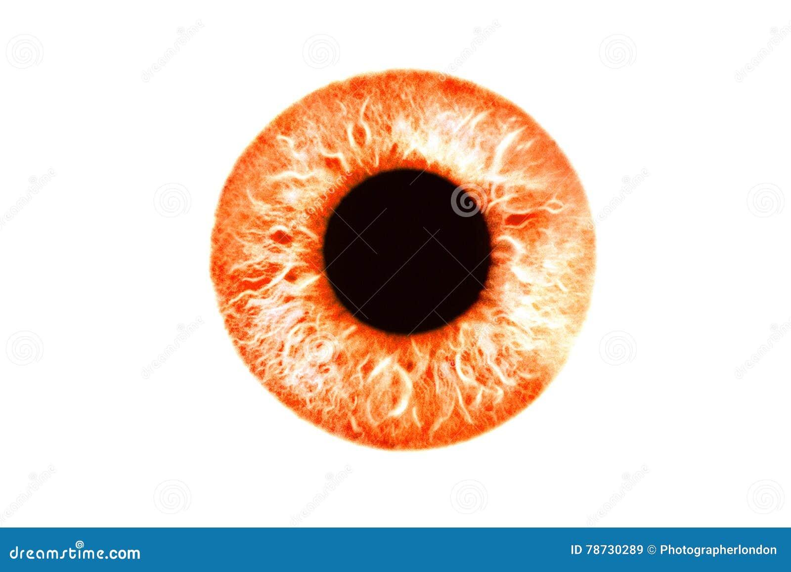 Closeup av det röda orange ögat på vit bakgrund