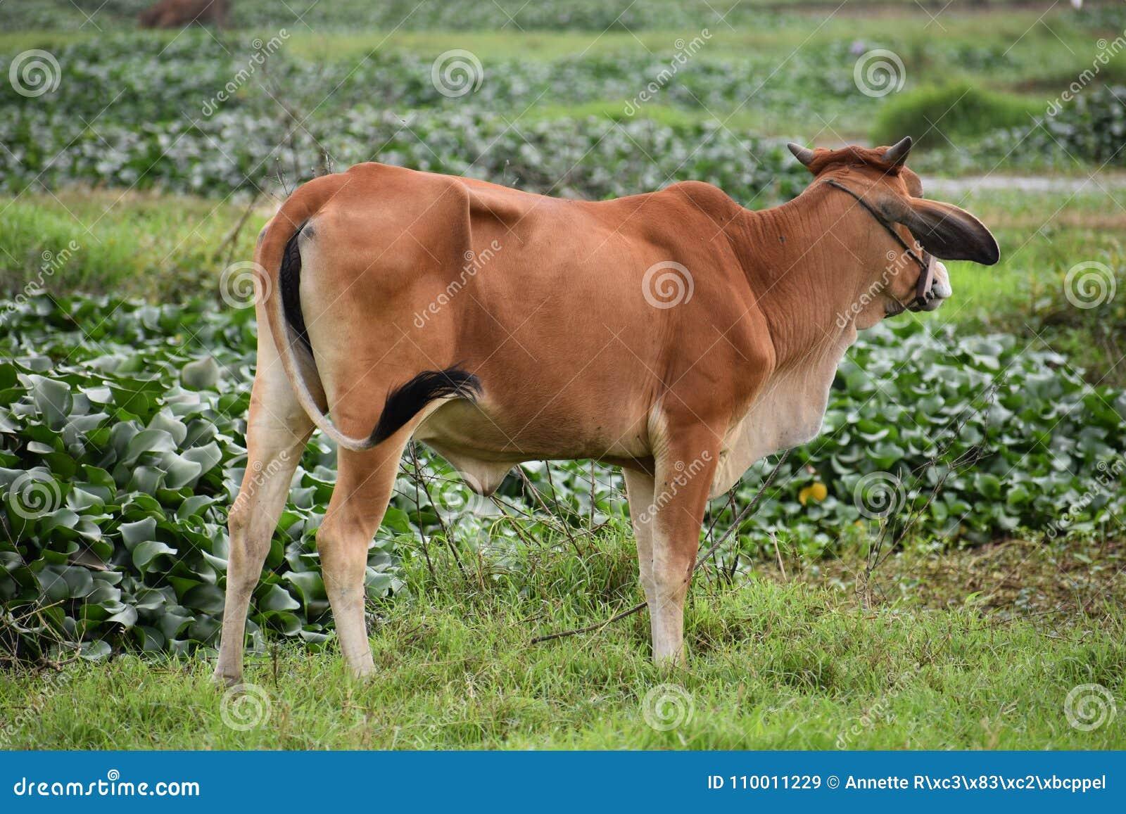Closeup av en brun ko på en grön risfält i Hoi An i Vietnam, Asien