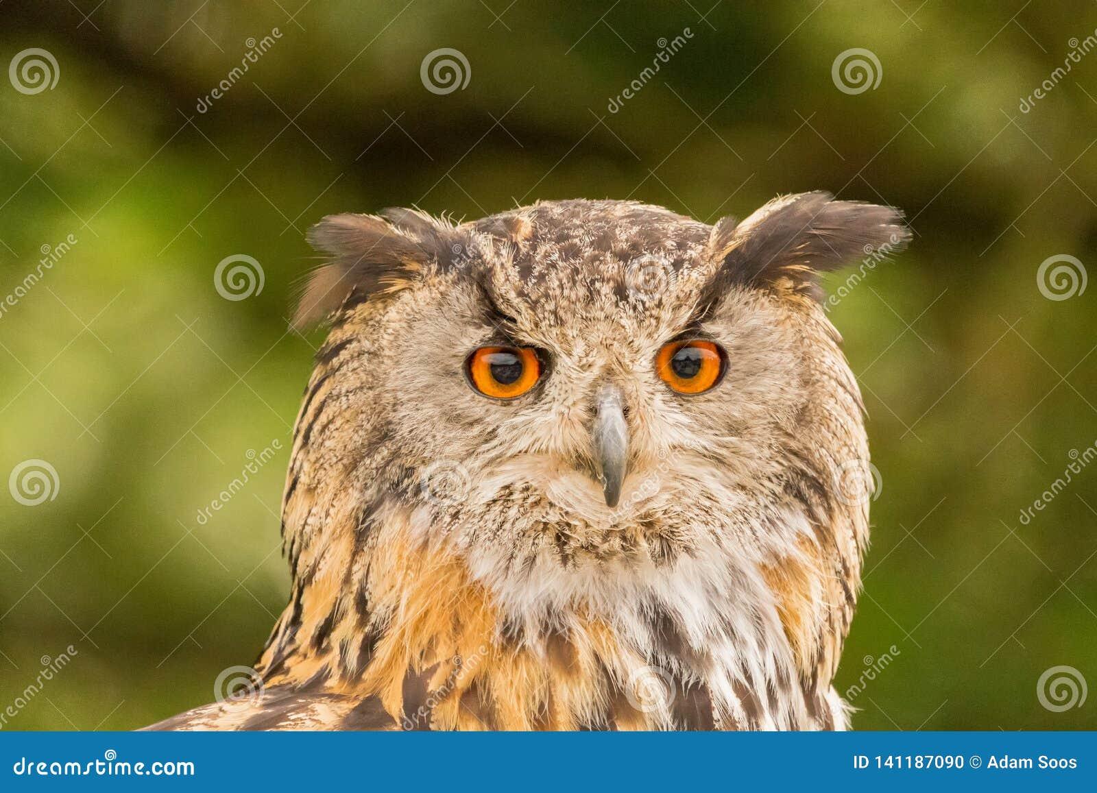 Closeup av en EurasianEagle-Owl Bubo bubo
