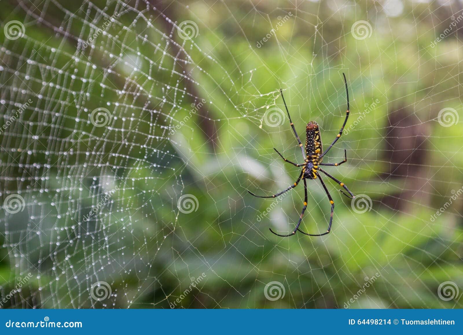 Closeup av en guld- siden- orb-vävare spindel