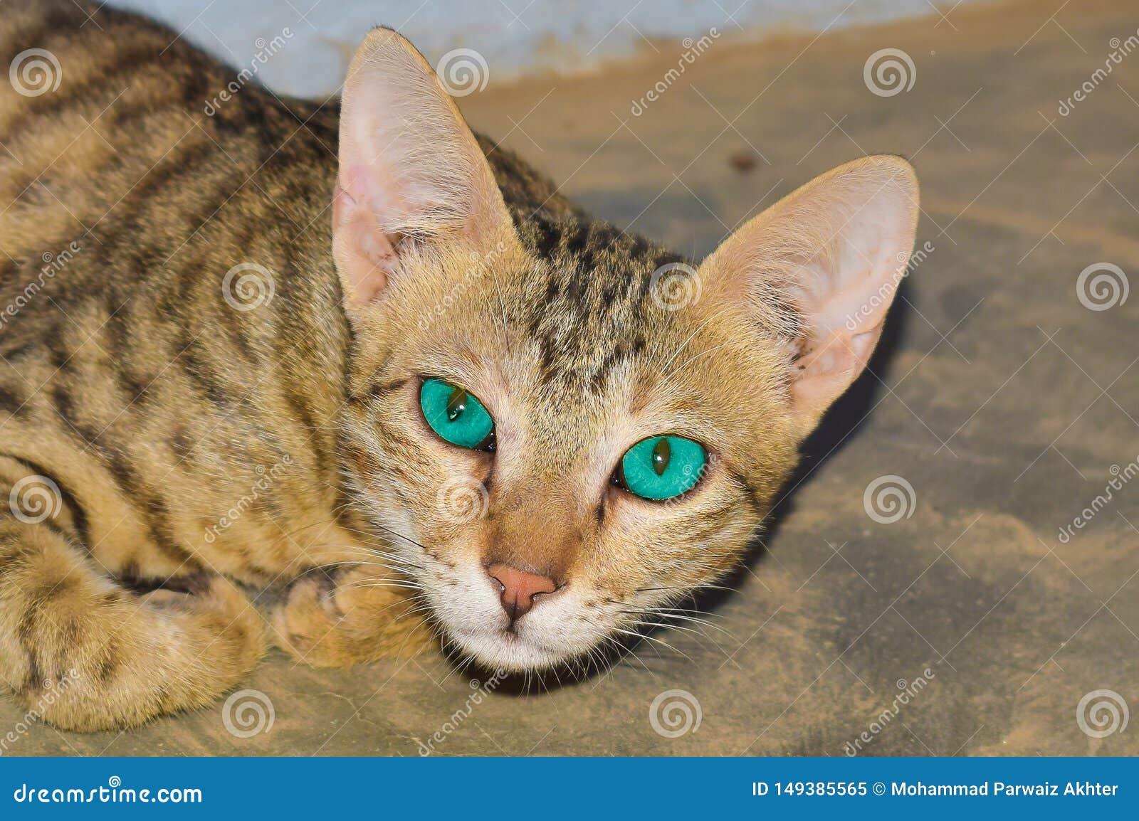 Closeup av en inhemsk katt hemma