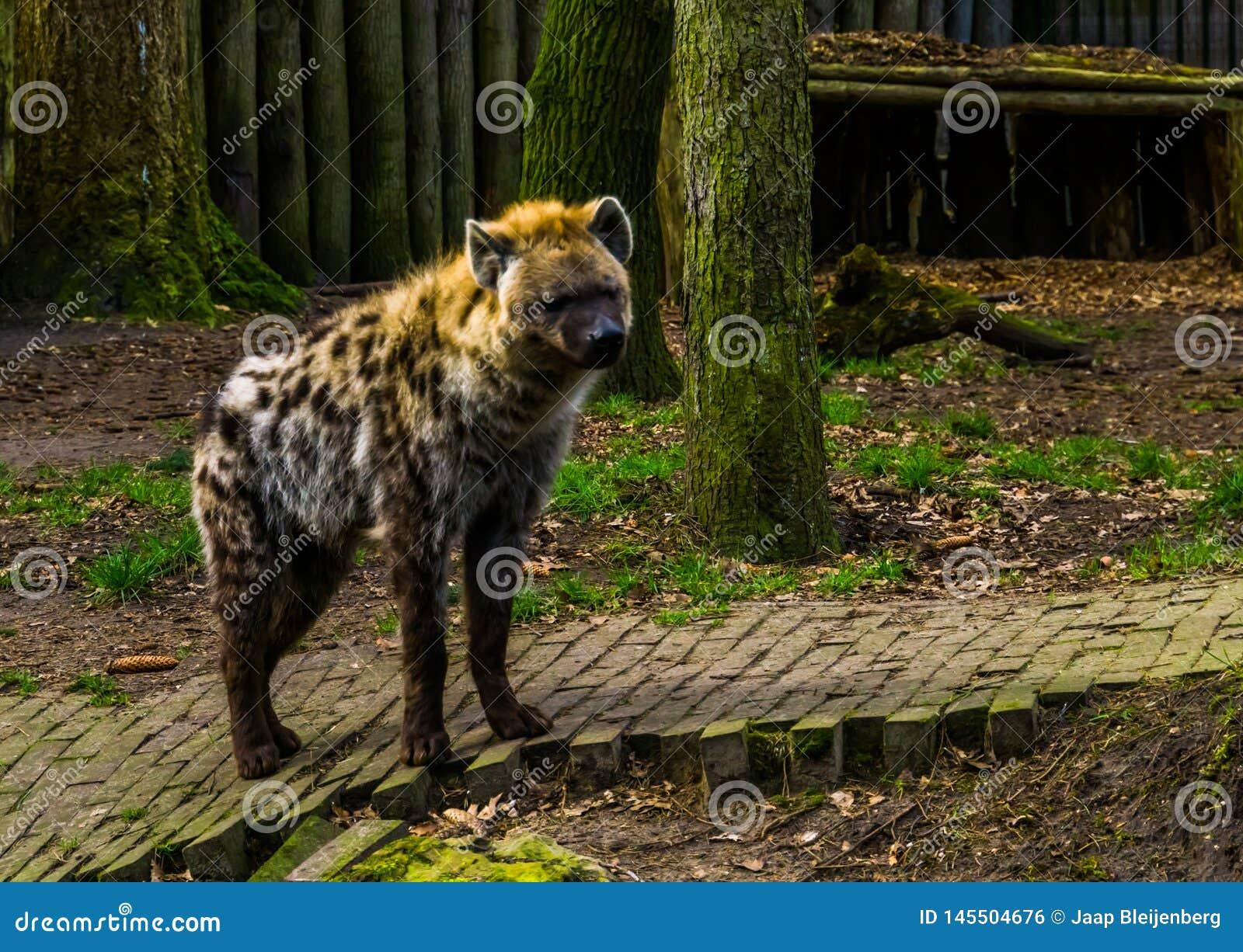 Closeup av en prickig hyena, k?tt?tande d?ggdjur fr?n Afrika, popul?ra zoodjur