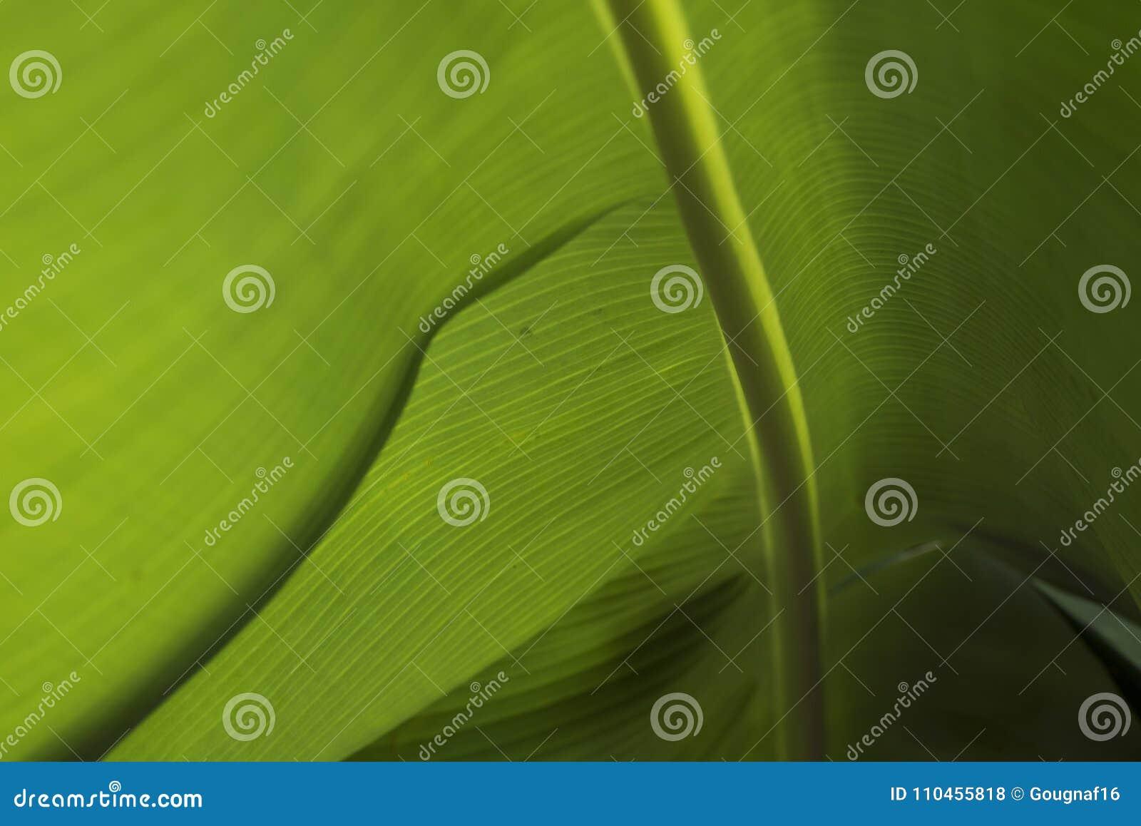 Closeup av ett bananblad