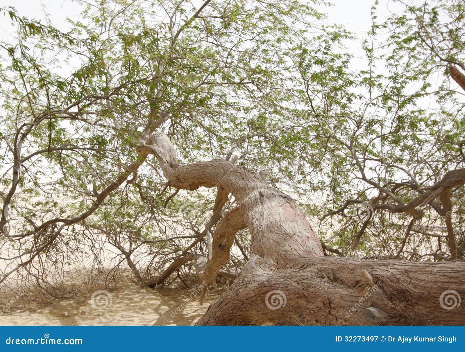 Closeup av ett filialträd av liv, Bahrain