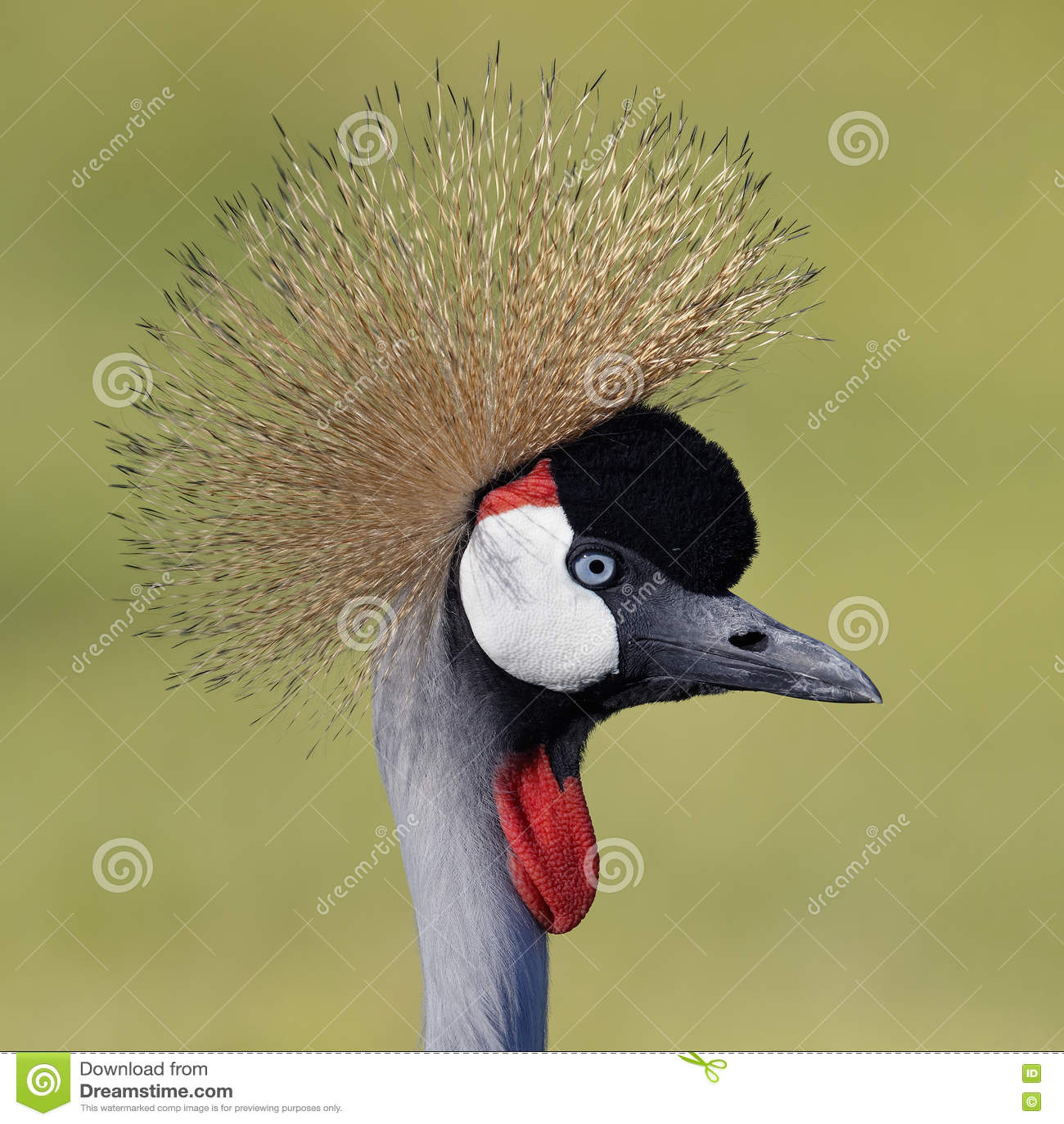 Closeup av Gray Crowned Crane