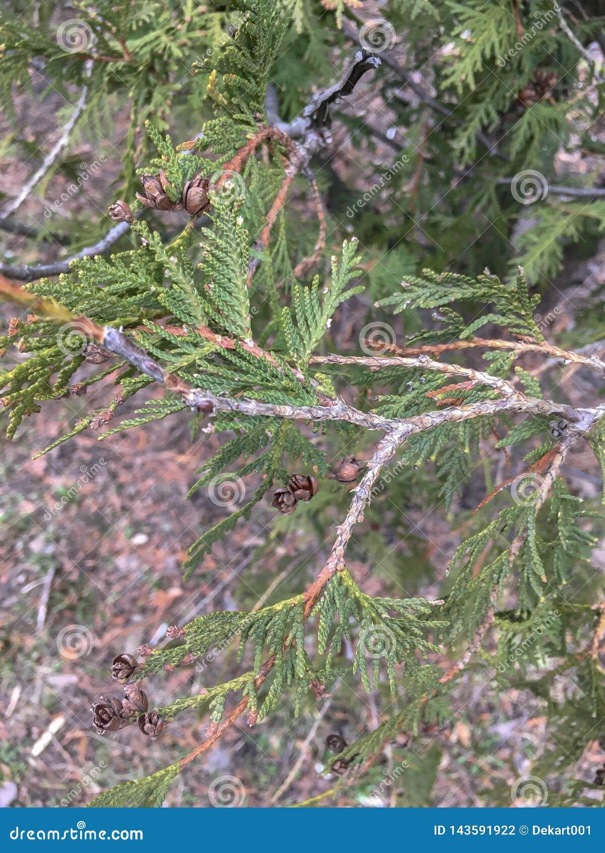 Closeup av härliga gröna sidor och kotte av Thujaträd Stäng sig upp av Thujafilial i vår