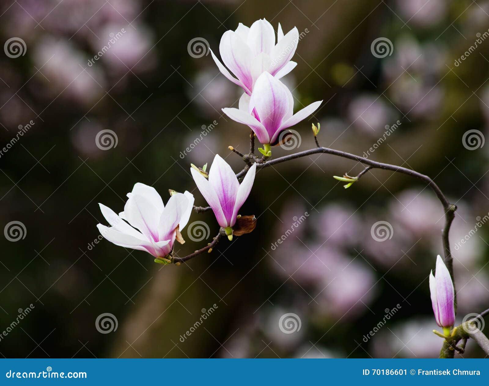 Closeup av magnoliablomman på blomningen