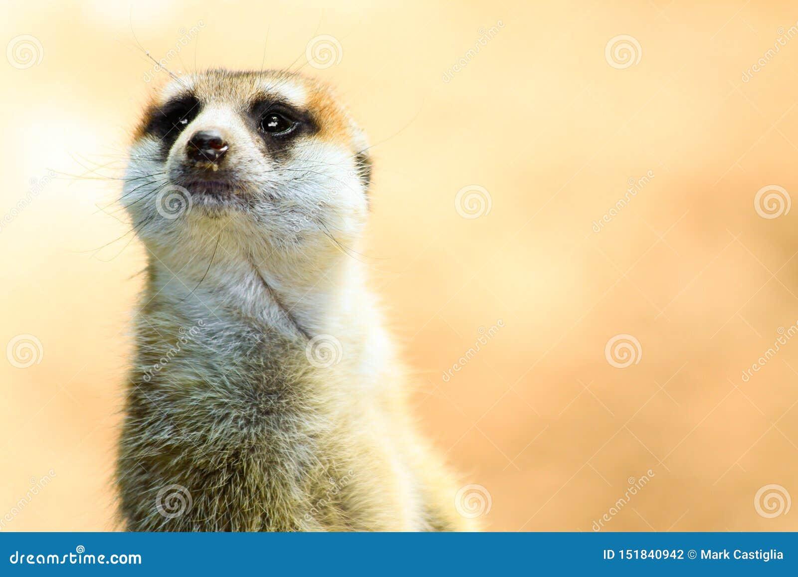 Closeup av Meerkat på varning
