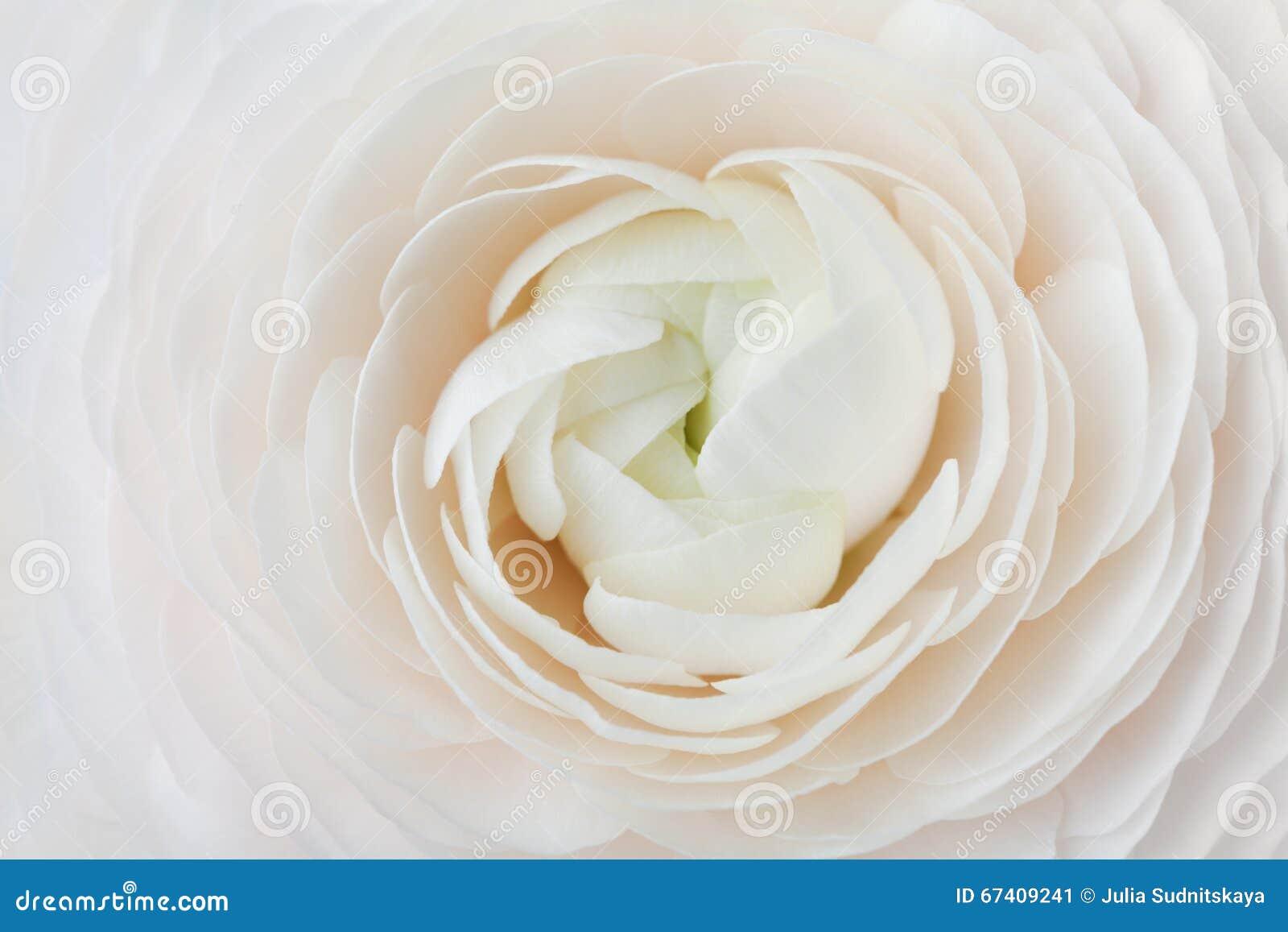 Closeup av persikaranunculusen för abstrakt bakgrund, härlig vårblomma som gifta sig den blom- modellen, makro