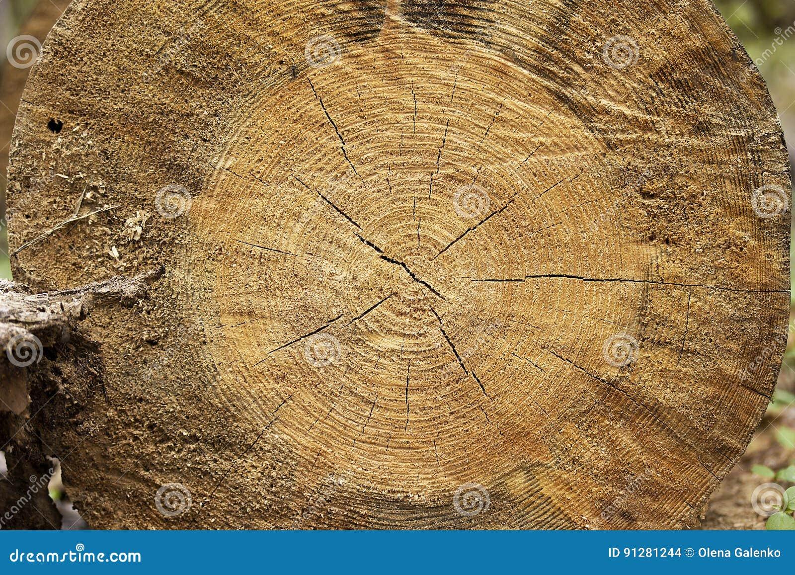 Closeup av varm plan wood textur Årliga cirklar av trädstubben