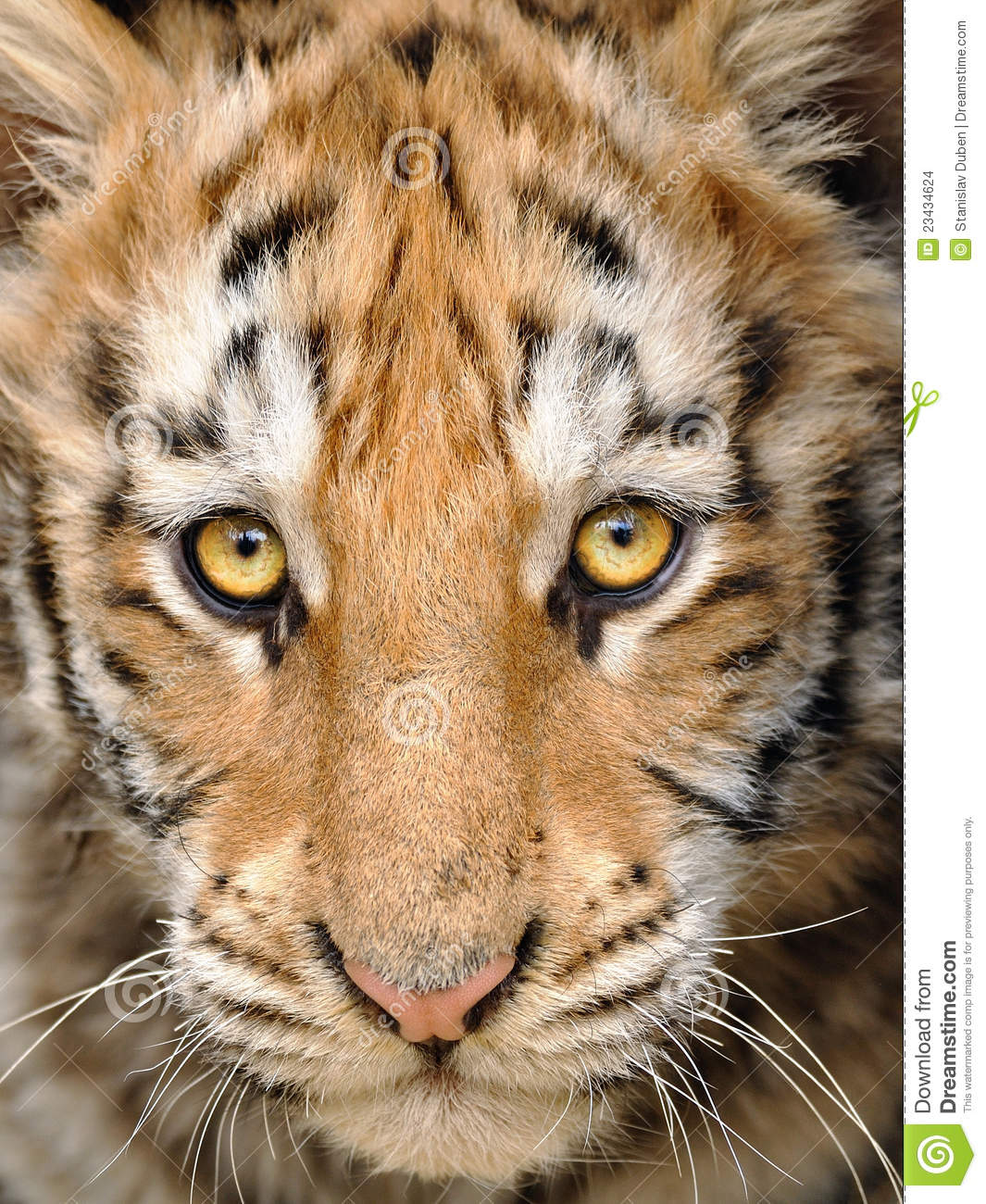Baby tigers face - photo#21