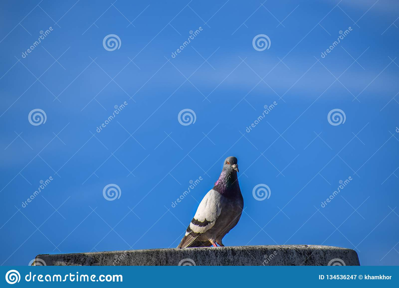 Closeup of beautiful Feral Pigeon dove relaxing on top of a roof in a clear sky with no clouds royalty free stock photography