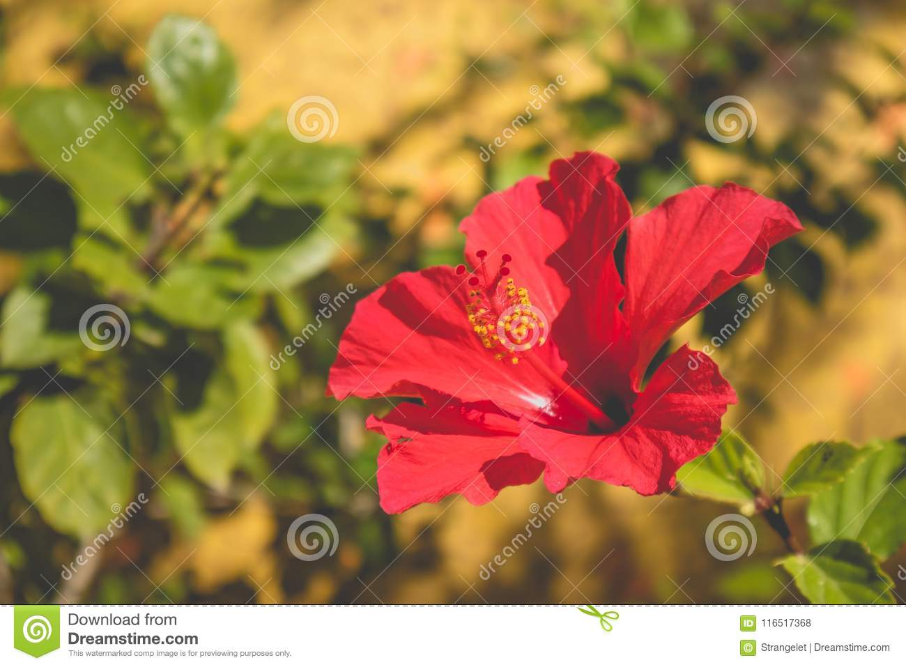 Closeup of beautiful red hibiscus flower stock photo image of closeup of beautiful red hibiscus flower izmirmasajfo