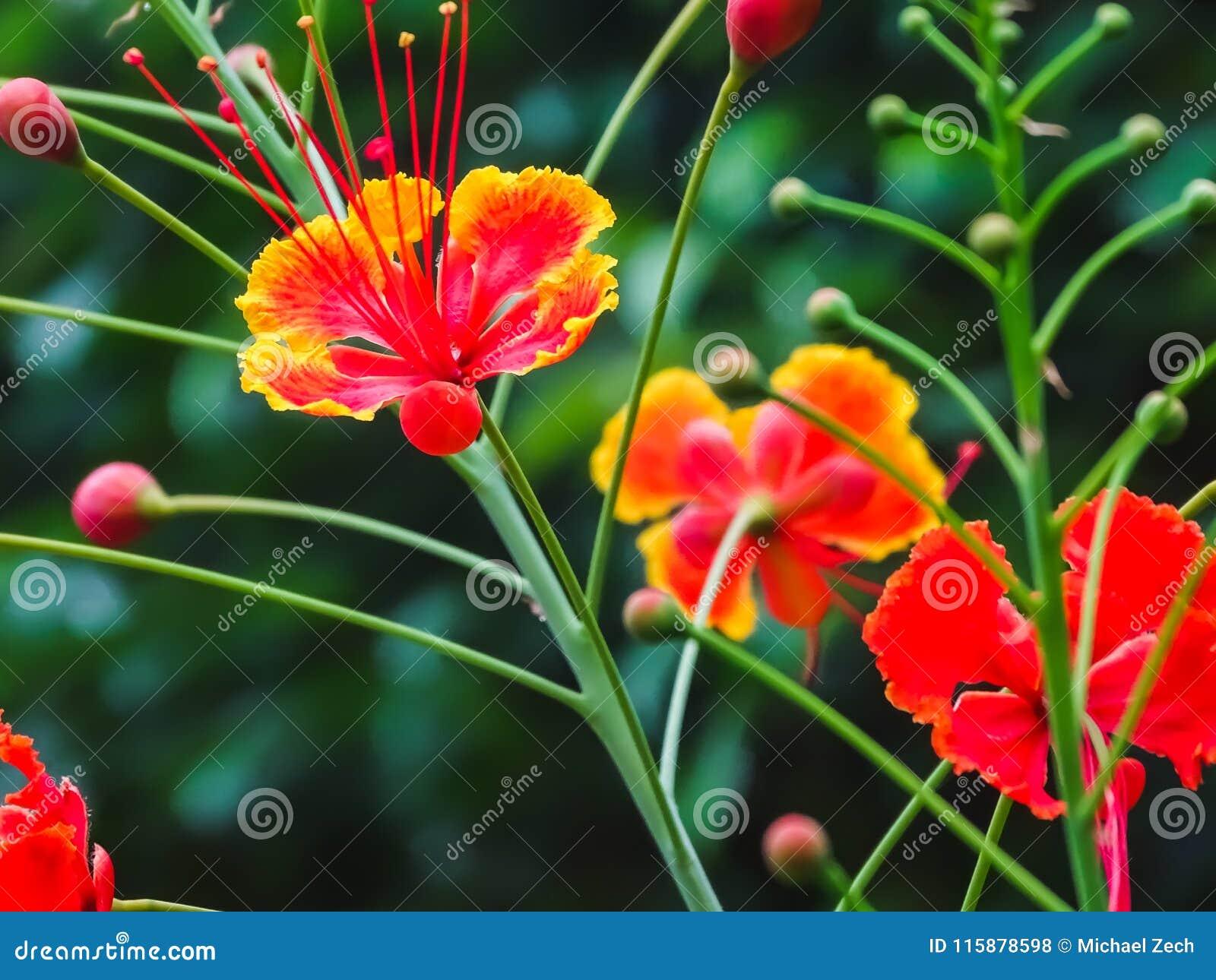 Closeup of beautiful red and yellow Caesalpinia pulcherrima