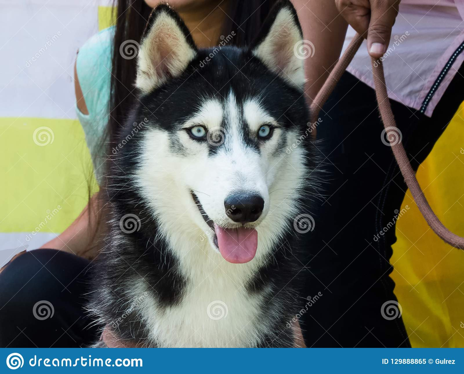 Closeup of a beautiful Siberian Husky Dog