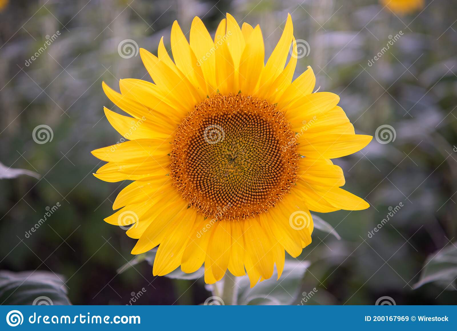 948 Sunflower Silhouette Photos Free Royalty Free Stock Photos From Dreamstime You have come to the right place! dreamstime com