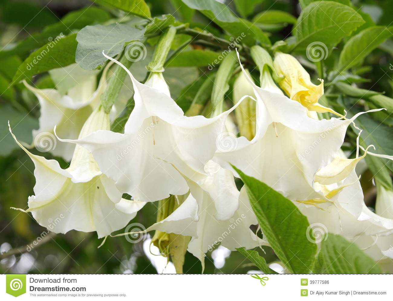 Closeup Of Beautiful White Vine Flowers Stock Photo Image Of Kenya