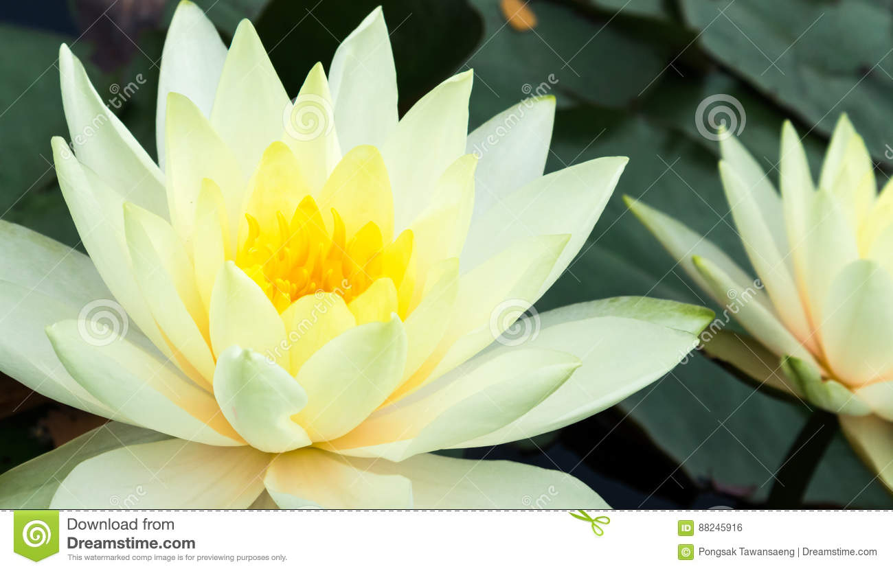 Closeup Of Beautiful Yellow Lotus Flower Stock Photo Image Of