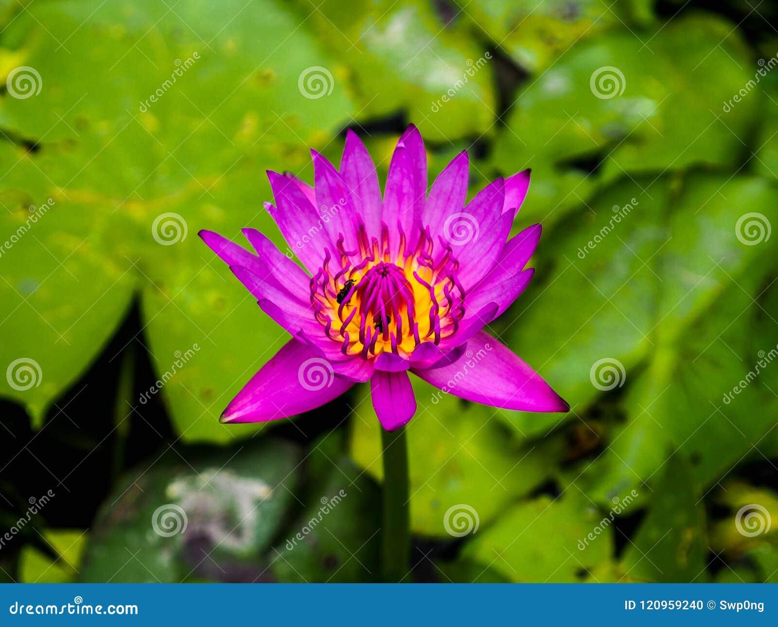 Closeup bee in pink lotus flower stock photo image of flora closeup bee in pink lotus flower mightylinksfo