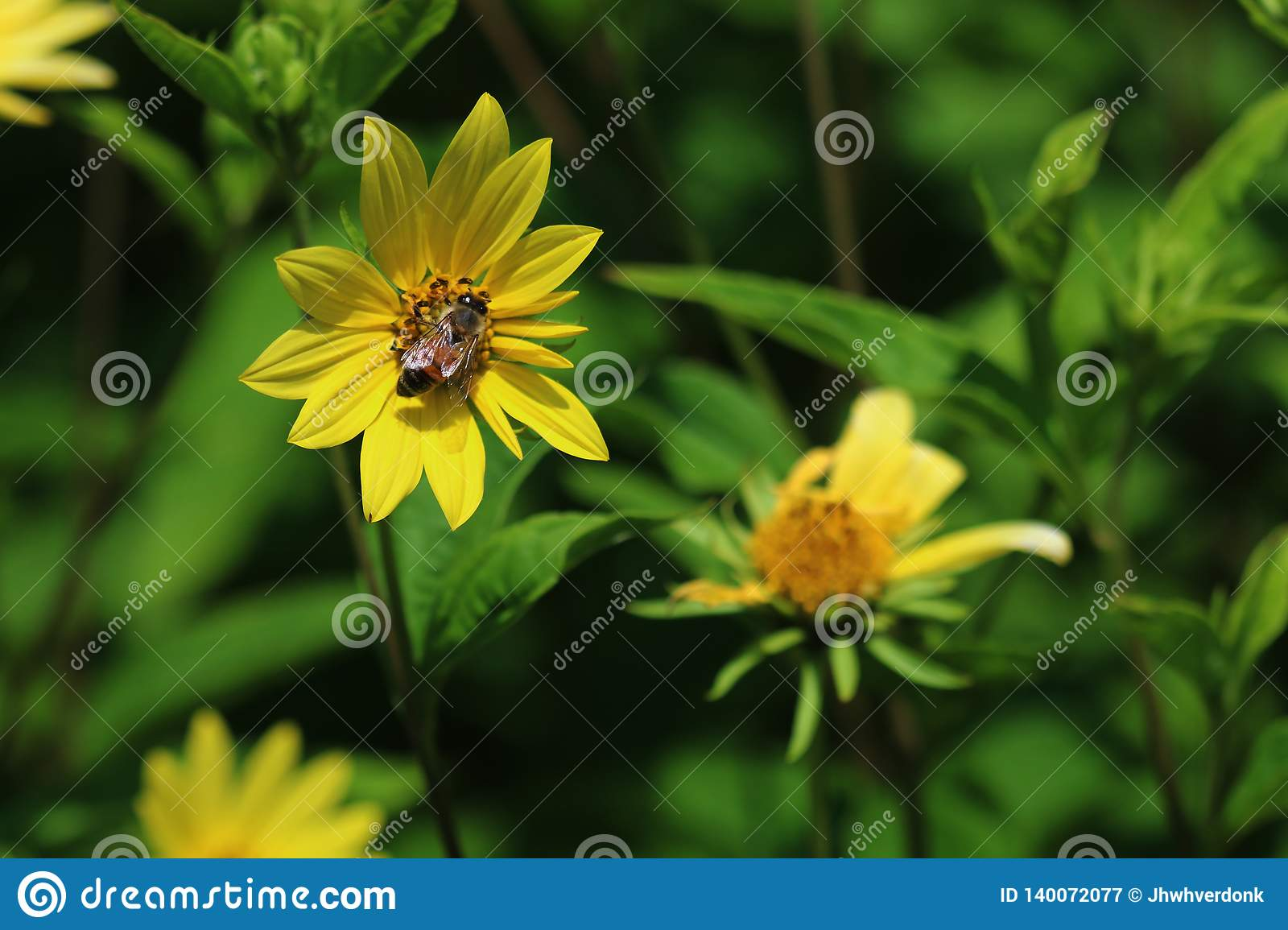 A closeup of a bee pollinating a yellow flower with space for text but also a green, natural background