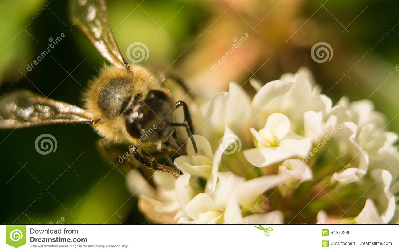 Closeup of bee at work on white clover flower collecting pollen A four leaves clover