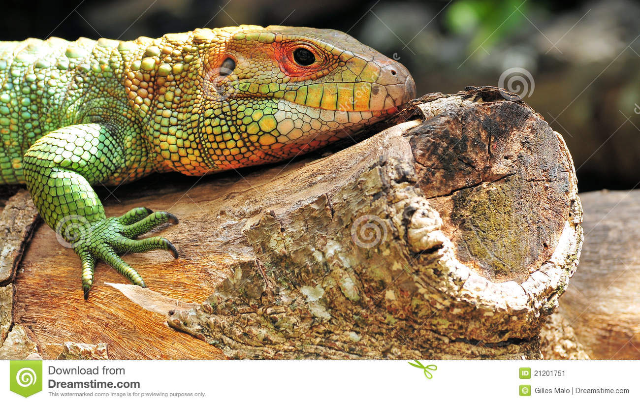 Colorful Pet Lizards Closeup Of A Big Lizar...