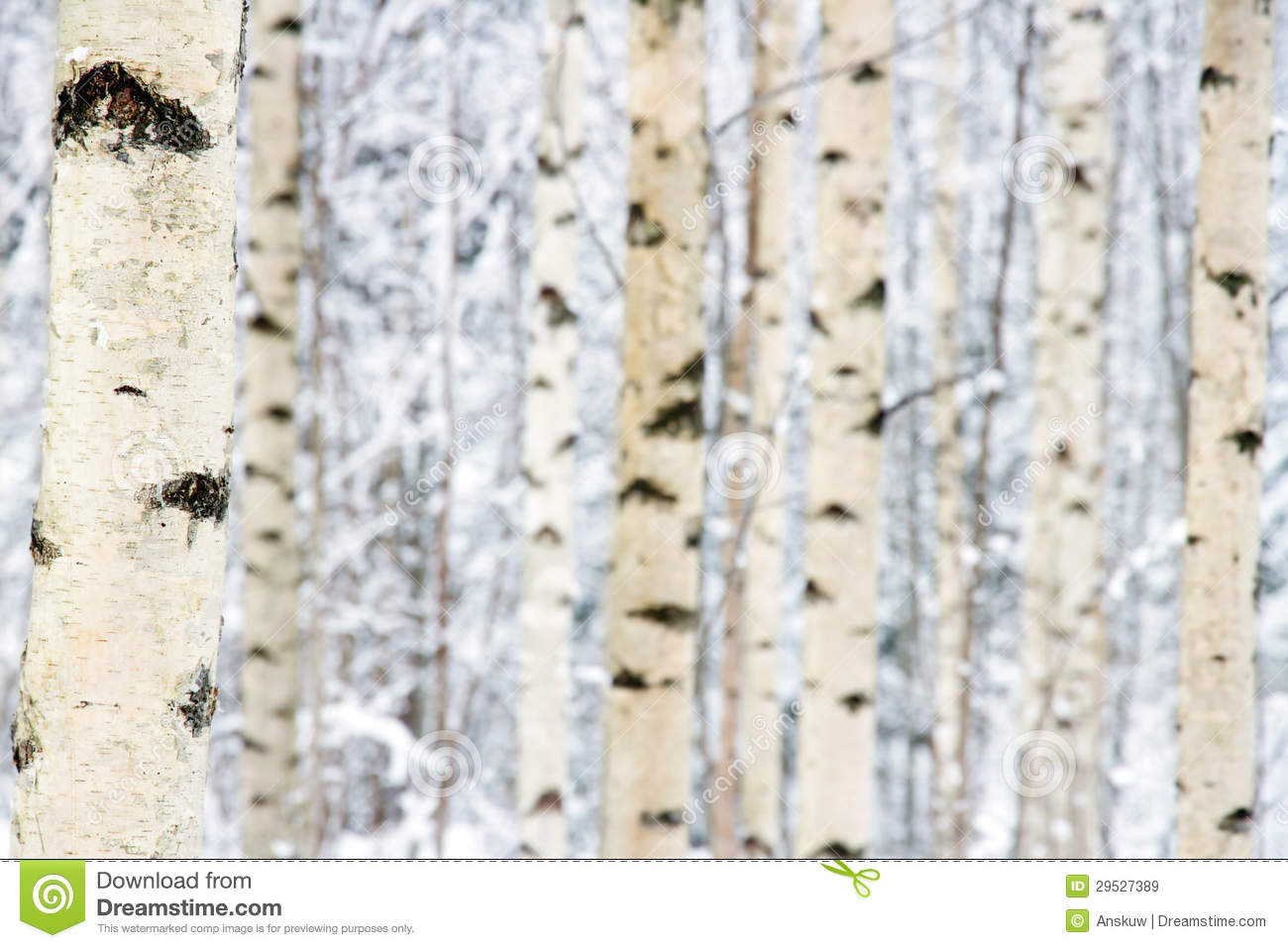 Birch tree forest winter closeup of birch tree forest
