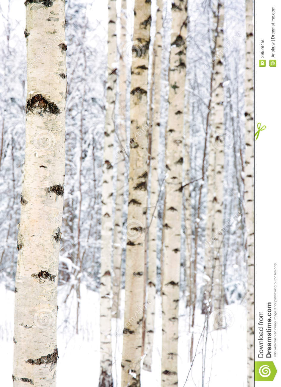closeup of birch trees in a snowy forest stock photo