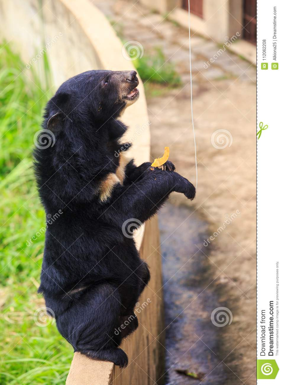 Closeup Black Bear Sits On Barrier Looks At Banana In Zoo Stock
