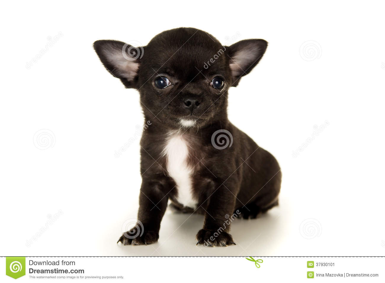 Closeup Of Black Chihuahua Puppy Stock Image Image Of Friend