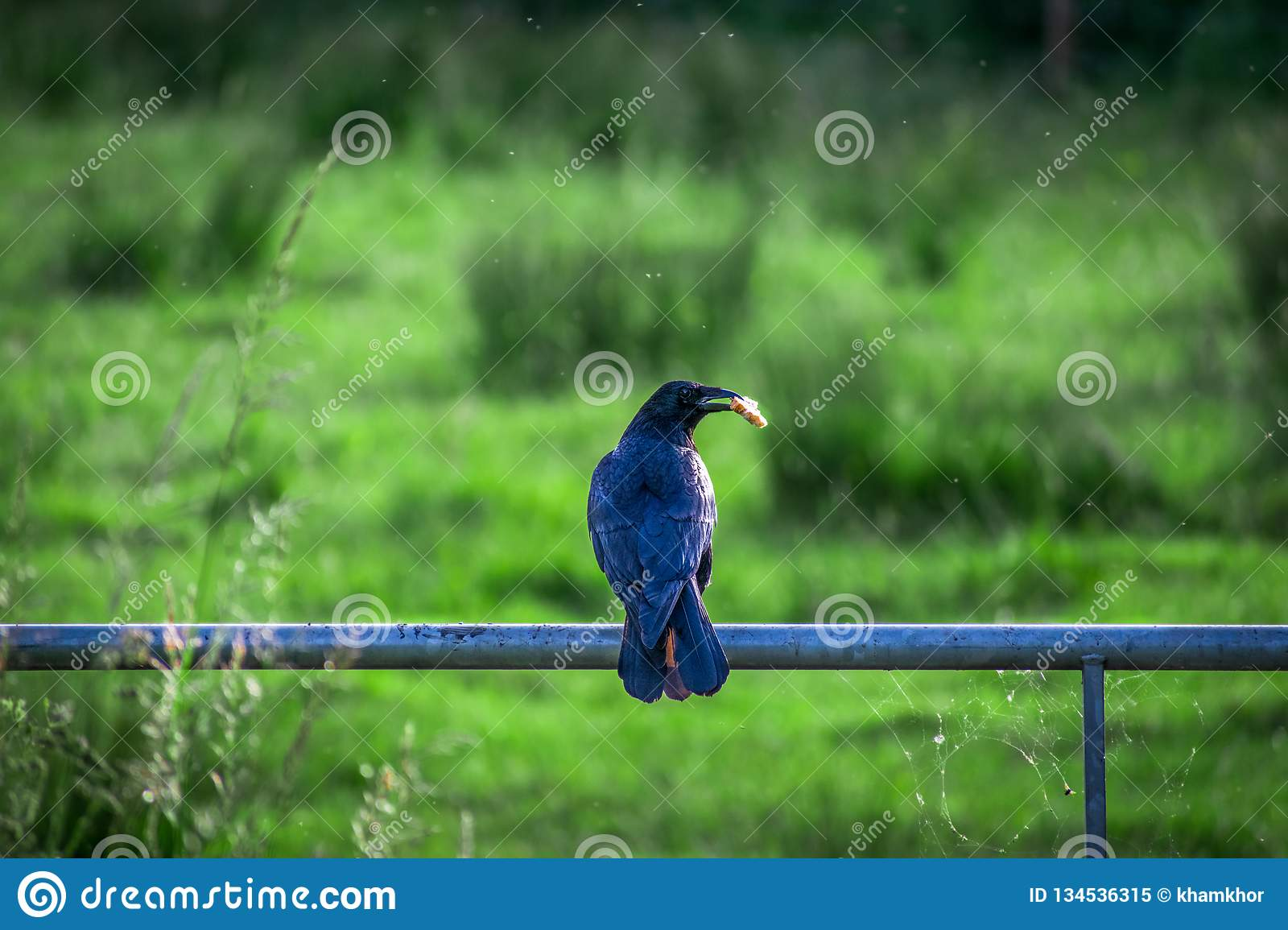 Closeup of Black crow holding some bread and eating snack on a metal fence in the park in a summer day royalty free stock photo