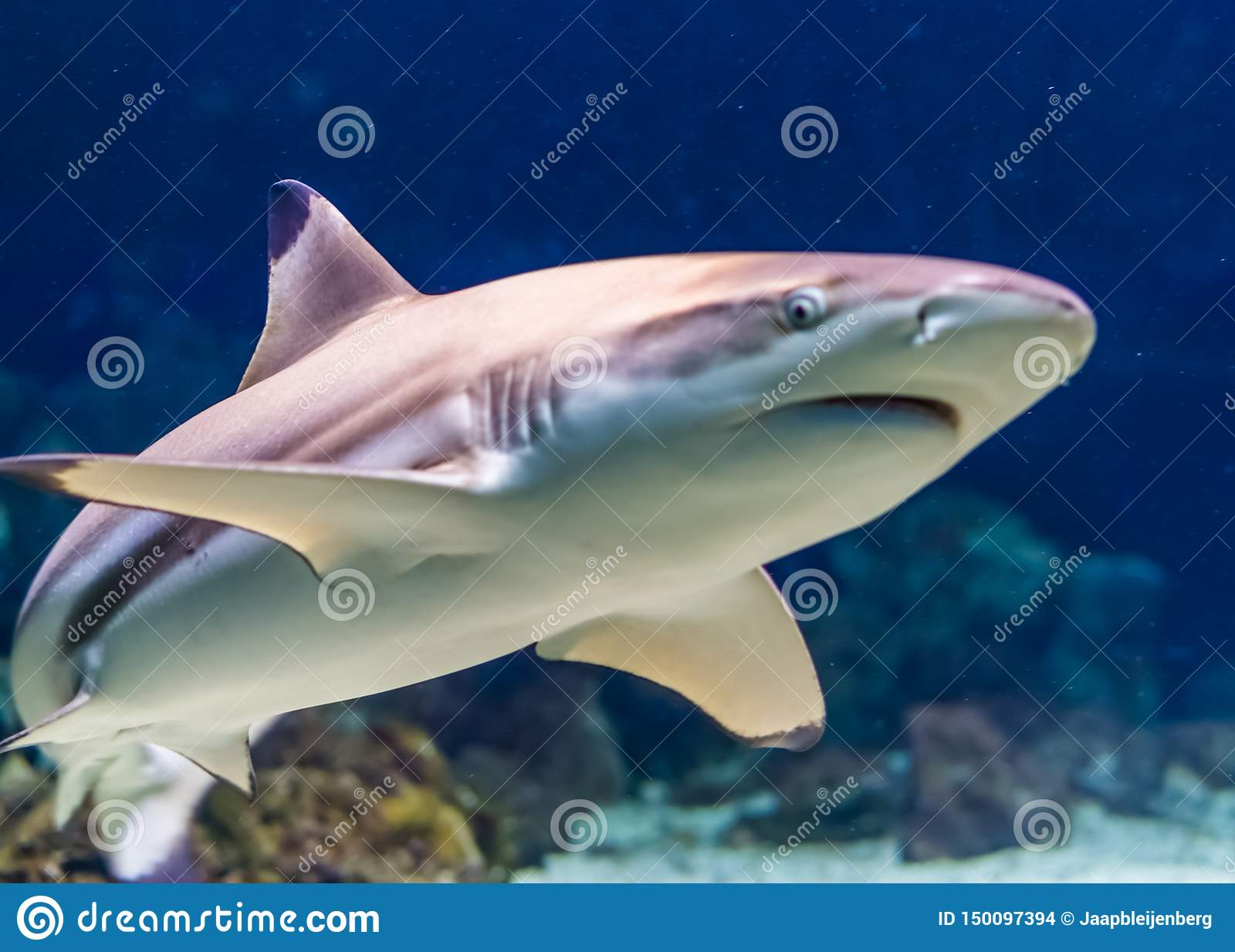 Closeup of a black tip reef shark, tropical near threatened fish specie form the indian and pacific ocean