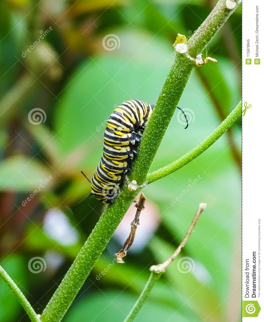 Closeup of a black and yellow butterfly caterpillar
