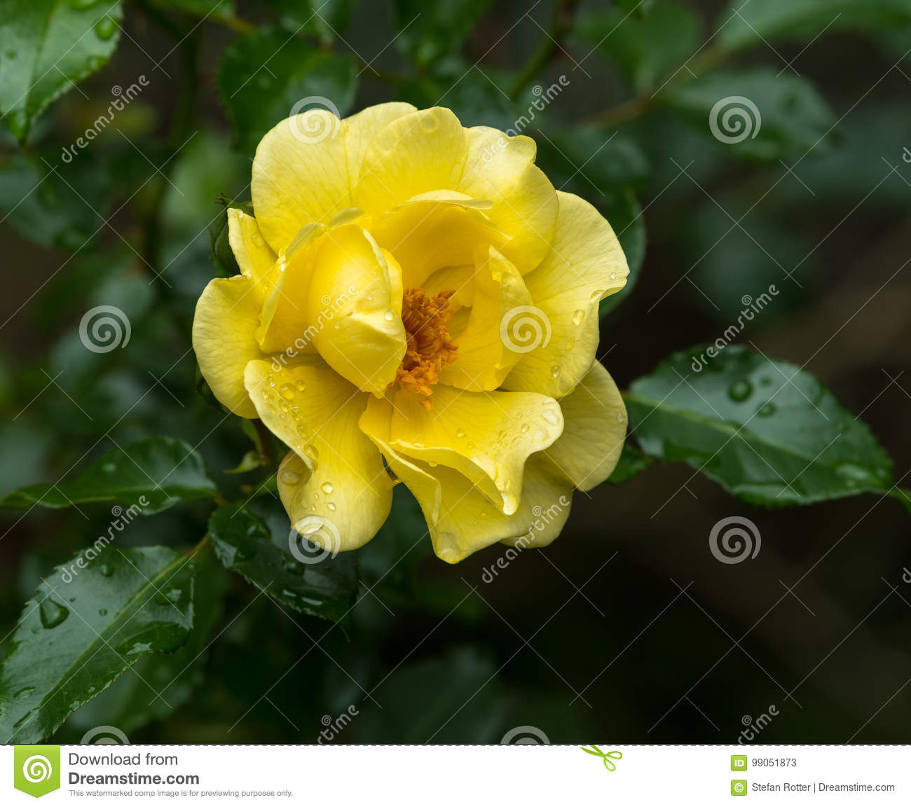 Download Blossom Of A Yellow Rose With Water Drops Stock Image - Image of perfume, botanical: 99051873