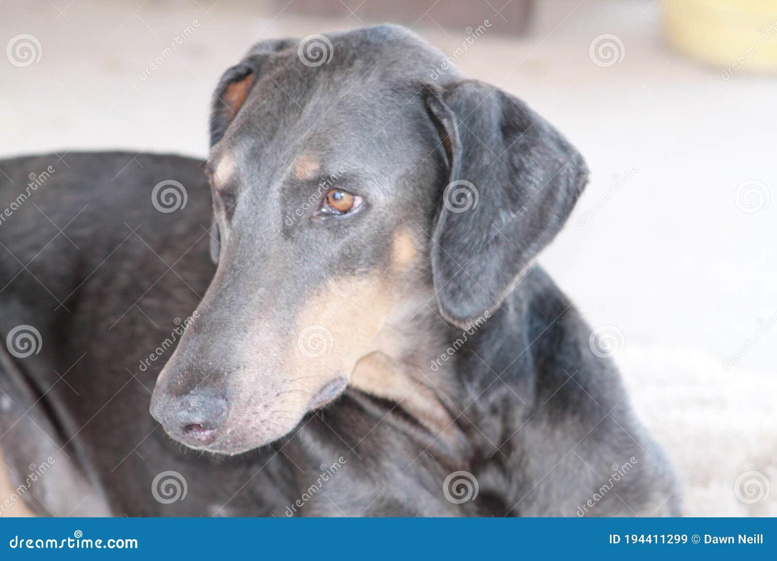 Closeup Of Blue Doberman Pinscher Dog Stock Image Image Of Short Closeup 194411299